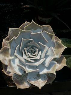 #succulent from Stauffers Home & #Garden store.