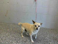 #A463674 Available 4/18  I am a male, buff Chihuahua - Smooth Coated mix. The shelter staff think I am approximately 1 year old. I have been at the shelter since Apr 11, 2014.   If I am not claimed, after my stray holding period, I may be available for adoption on Apr 18, 2014. call:  San Bernardino City Animal Control at (909) 384-1304 https://www.facebook.com/photo.php?fbid=10202440304746498&set=a.10201187177339096.1073741865.1160364024&type=3&theater