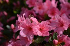 Nome Técnico: Rhododendron simsii. Nome comum: Azaleia. Família:Angiospermae e Ericaceae. Origem: China.