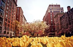 Tulips blossoming on the Upper East Side on Park Ave in New York City!