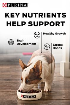 All puppies need puppy food. Purina Puppy Food helps support strong bones, brain development and healthy growth. Perfect for Puppyhood. Purina Puppy Food, Strong Bones, Your Dog, Brain, Corgi, Puppies, Healthy, Animals, The Brain