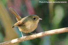 Slaty-blue Flycatcher (Ficedula tricolor), female