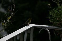 Eine der Goldammern, die mich täglich besuchen und von den Blumenkästen auf dem Balkon naschen.