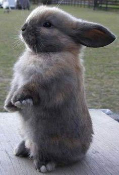 Gray Begging Bunny