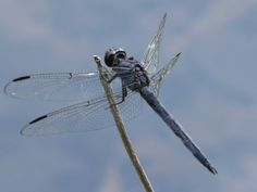 Dragonfly - A Message from one of our Spirit Animals