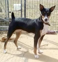 Chase is an adoptable Rat Terrier Dog in Urbana, IL. Chase is a strikingly handsome, registered Decker Rat Terrier who is just over 1 year old and weighs 39 lbs. He is house trained and crate trained,...