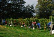 Oatley Vineyard, Somerset, UK. Kernling harvest starts, 27 Oct 2013. Top block first