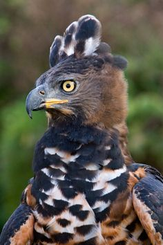 """theraptorcage: """" African Crowned Eagle """""""