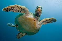 Maledivy info: kdy je nejlepší čas vyrazit? | ZAJÍMAVOSTI Reptiles, Galapagos Trip, Kura, Turtle Care, Ocean Projects, Turtle Images, Baby Sea Turtles, Your Spirit Animal, Green Turtle