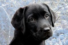 Labrador puppy in the snow. by KeesM, via Flickr