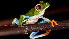 Frogs Have Unique Ability to See Color in Extreme Darkness, Study Shows | Biology | www.sci-news.com/