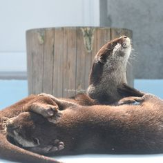 Otters are practicing for Cirque  du Soleil