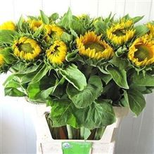 sunflowers-helianthus-vincents-fresh-