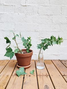 Permanent Procrastination: Growing English Ivy from a Cutting Ivy Plants, Water Plants, English Ivy Indoor, Water House, House Plants Decor, Ivy House, Garden Crafts, Garden Ideas, Outdoor Plants