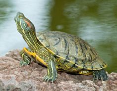 red eared slider - Google Search