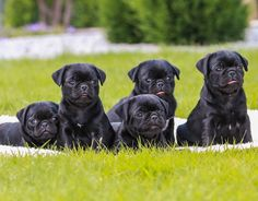 Cute Black Pug Puppies.... I want all of them!!!!