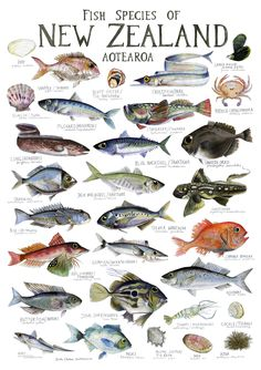 Fish Species of New Zealand Poster - Fathers Day Top 20 NZ Art Prints, Design Prints, Posters & NZ Design Gifts Fish Chart, Marlin Fishing, Fish Illustration, Illustrations, Fish And Chip Shop, Nz Art, Creature Drawings, Bachelor Of Fine Arts, Kiwiana