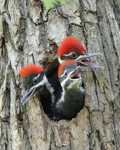baby pileated woodpeckers birds-bugs-and-butterflies
