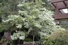 To the side of the garage next to dining room window?fringe tree - Google Search