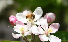 Educated Consumers Score a Big Win for Honeybees – With Thanks to Skagit Gardens – North Coast Gardening