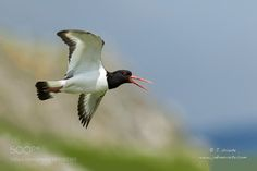 Superb Nature - Eurasian Oystercatcher by Uriarte. Natural World, Flora, Wildlife, Birds, Pets, Nature, Amazing, Animales, Fotografia
