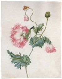 A poppy in three stages of flowering, with a caterpillar, a pupa and a butterfly by Johanna Helena Graff