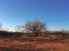 No caminho , entre Petrolina e São Raimundo Nonato onde se encontra o Parque da Capivara , aquele cenário da caatinga seca , já começa a aparecer .