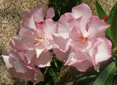 Helena Nerium, Plants, Garden, Lawn And Garden, Plant, Planets