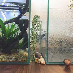 【o___o.totomi.axolotl】さんのInstagramをピンしています。 《新水槽✨今回はバックスクリーンに窓用目隠しシートを使ってみました。どんな風になるかな?ドキドキ(≧∇≦)ちなみにシロさんが住んでる水槽のバックスクリーンは、ダイソーの「PP厚板シート・半透明カラー」です。  #ウーパールーパー #アホロートル #新水槽 #水槽立ち上げ #バックスクリーン #アイデア #ダイソー商品 #ダイソーppシート #目隠しシート #アクアリウム #aquarium #aquariumlife #mytank #kotobuki #レグラス #30キューブ》