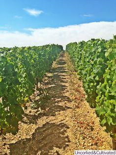 Semillon vineyard at Chateau de Fargues in Fargues area of Sauternes