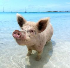 The famous swimming pigs in the Bahamas make their home on Pig Beach, the southernmost beach of Big Major Cay in the Exuma Cays. No one seems to know for sure how this small colony of pigs first arrived in the Bahamas more than a decade ago, but they've since become a popular tourist attraction; lazing around in the sun, frolicking on the sand and paddling out into the surf to meet the boatloads of locals and tourists that arrive each day to feed them.