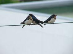 swallow : ツバメ