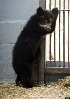 A spectacled bear (tremarctos ornatus), born in captivity four months ago, is seen at the zoo in Cali, Valle del Cauca department, Colombia, on January 11, 2012.