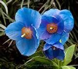 Blue himalayan poppies seem happy in my yard.