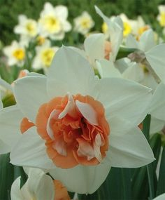 Narcissus Candy Princess - Double Narcissi - Narcissi - Flower Bulbs Index