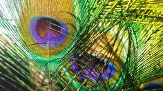 Maximillions feathers...