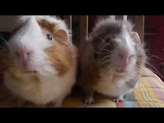 They Look Like Ordinary Guinea Pigs. But Dad Caught These Two Doing? OMG I Can't Stop LAUGHING!
