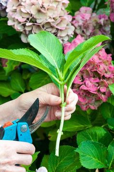 Gardening Tips HYDRANGEA propagation from cuttings ! - Turn one healthy hydrangea plant into five, ten, or as many as your heart and garden desire with this easy method of propagation. Garden Shrubs, Lawn And Garden, Garden Plants, Garden Landscaping, Hydrangea Landscaping, Shade Garden, Landscaping Ideas, Potager Garden, Fence Garden
