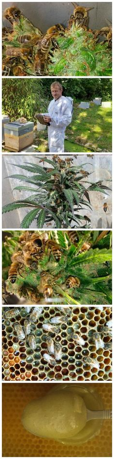 Bees that Make Honey with Cannabis Resin Really? I wonder how that honey affects the body? Medical Cannabis, Cannabis Oil, Ganja, Cannabis Growing, Smoking Weed, Bee Keeping, Herbalism, The Cure, Backyard