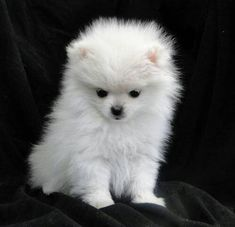 Marvelous Pomeranian Does Your Dog Measure Up and Does It Matter Characteristics. All About Pomeranian Does Your Dog Measure Up and Does It Matter Characteristics. Cute Puppies, Cute Dogs, Dogs And Puppies, Yorkie Dogs, Animals And Pets, Baby Animals, Cute Animals, Cute Pomeranian, Teacup Pomeranian Full Grown