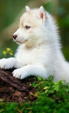 Baby Dogs, Doggies, Coyotes, Husky Puppy, Beautiful Dogs, Foxes, Adorable Animals, Cute Puppies, Kittens