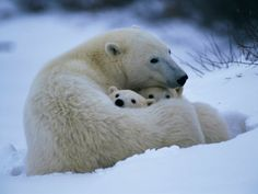 A Polar Bear Snuggles up with Her Cubs Fotografiskt tryck