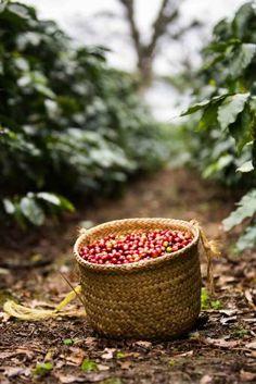 Coffee Study, Coffee Farm, Coffee To Go, Coffee Type, I Love Coffee, Honey Coffee, Coffee Shop, Farm Photography, Coffee Photography