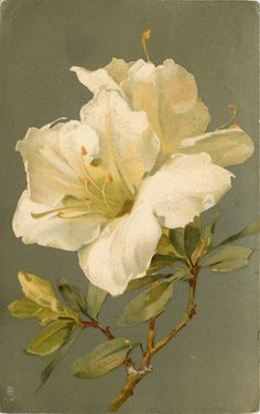 """White Azaleas by Catherine Klein, 1907 postcard. Klein,"""" her trademark signature, stands for Catharina Klein. She is also referred to as Catherine Klein, but that's not a name she ever used herself Botanical Drawings, Botanical Illustration, Botanical Flowers, Botanical Prints, Watercolor Flowers, Watercolor Art, Catherine Klein, Pintura Country, Arte Floral"""