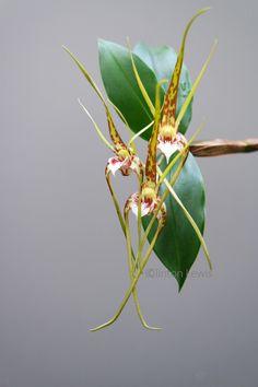 Dendrobium tetragonum v. giganteum 'Orchid Dynasty' (Australia)//clinton lewis