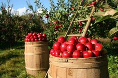 August 19 is Savior of the Apple Feast Day (Spasovka) in Russia  This Eastern Slavic folk holiday falls on the Feast of the Transfiguration and celebrates the harvest of ripe fruits, especially apples.  http://www.farmersmarketonline.com/holiday.htm