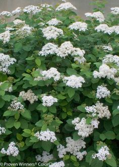Snow Storm™ - Spirea - Spiraea x media
