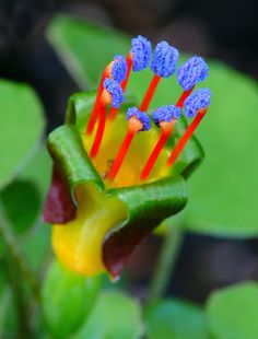 Fuchsia Procumbens ~ Creeping Rainbow Fuchsia ~ Climbing Flowers ~ 7 Rare Seeds - Another! Strange Flowers, Unusual Flowers, Rare Flowers, Amazing Flowers, Beautiful Flowers, Lilies Flowers, Tiny Flowers, Unusual Plants, Rare Plants