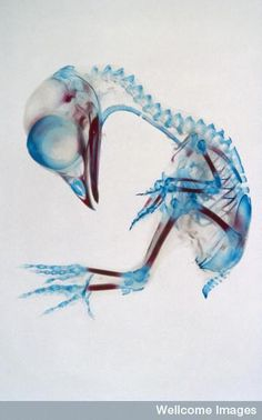 : The skeleton of this 13-day-old chick embryo has been stained to highlight cartilage (blue) and bone (red).  R. Bellairs, Wellcome Images