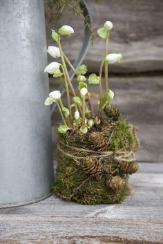 Winterblumendeko mit Moos und Zapfen - - - - - Hellebores in a nest of moss and pine cones, tied together with florist wire and string. Christmas Flowers, Winter Flowers, Spring Flowers, Bright Flowers, Garden Plants, Indoor Plants, House Plants, Deco Floral, Arte Floral